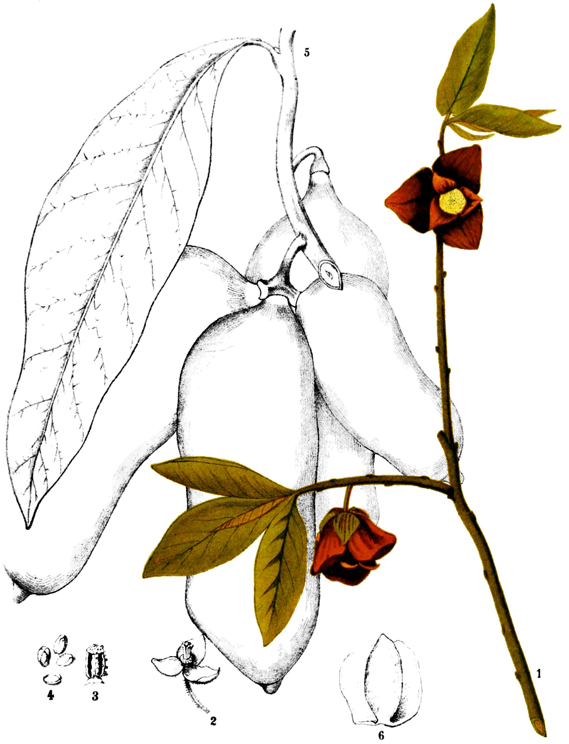 Asimina triloba Charles Frederick Millspaugh [Public domain], via Wikimedia Commons