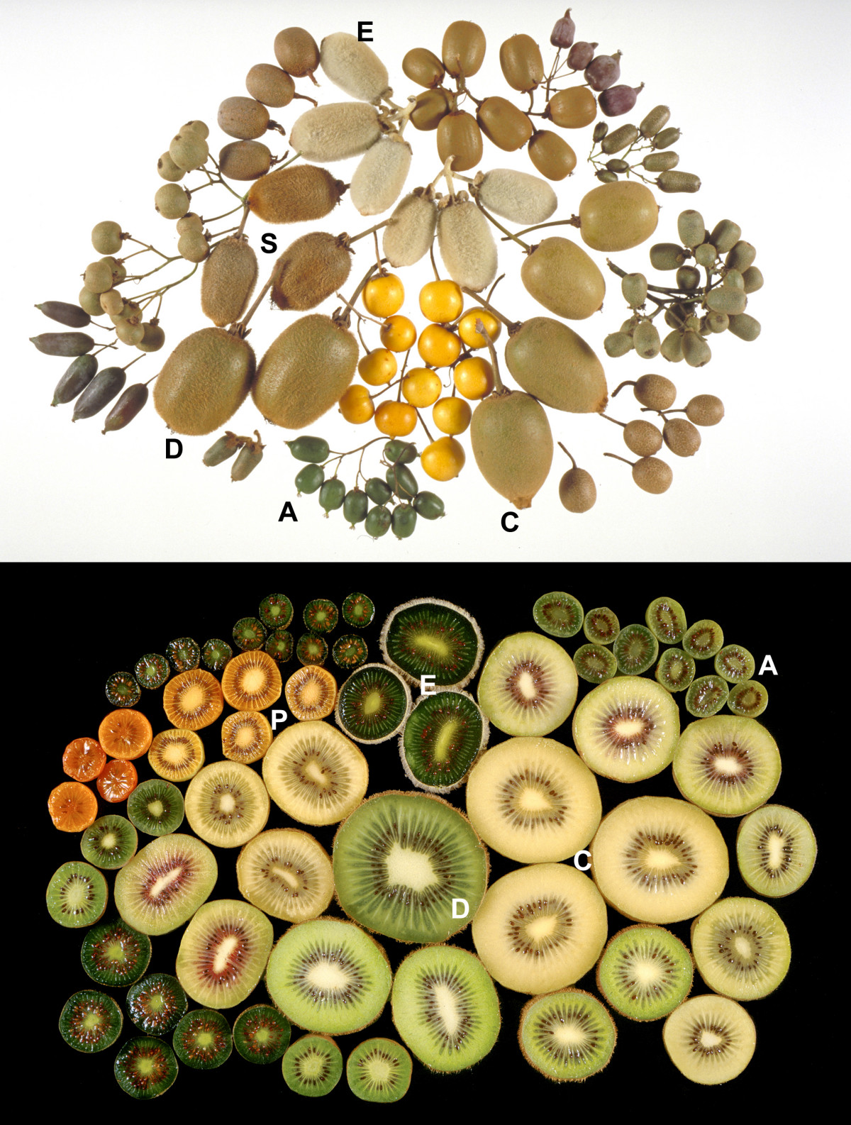 Fruits of different species af Actinidia.