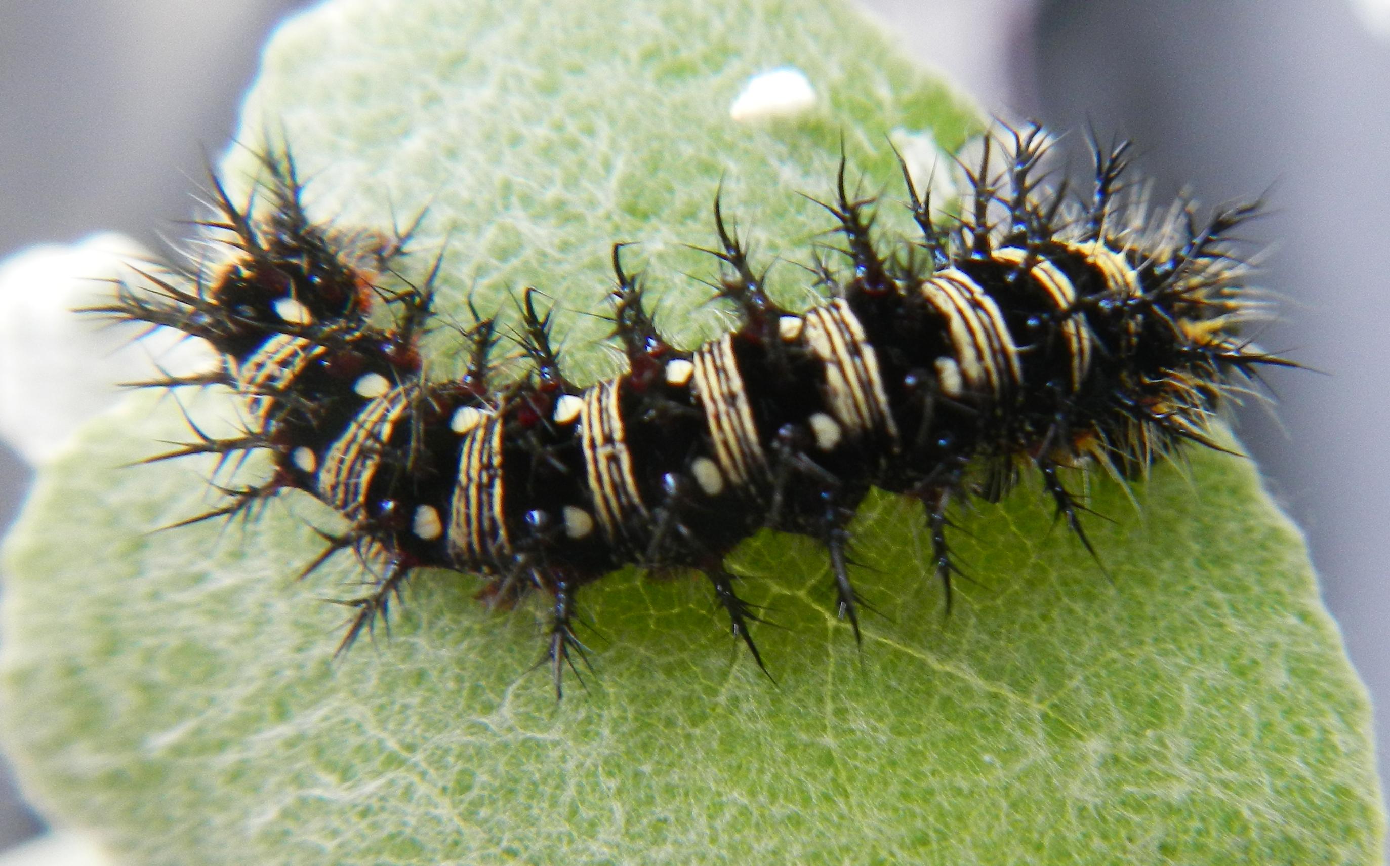 American Lady Caterpillar