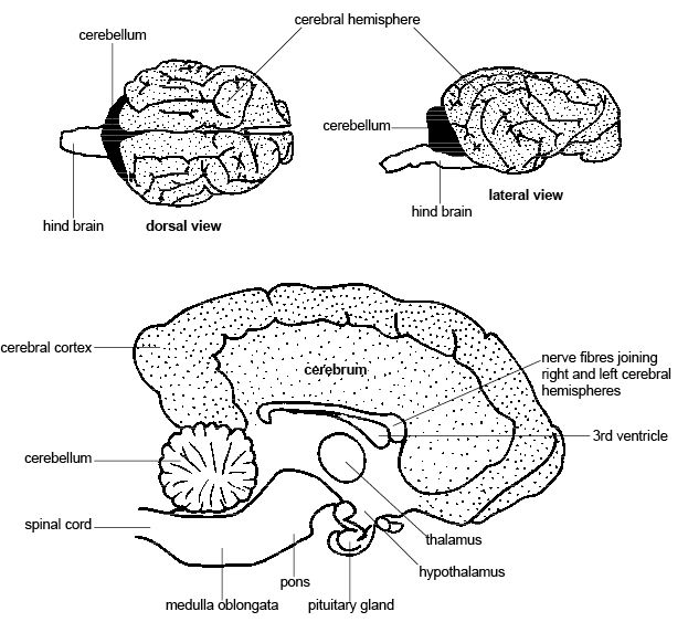 Anatomy and physiology of animals Longitudinal section through brain of a dog.jpg