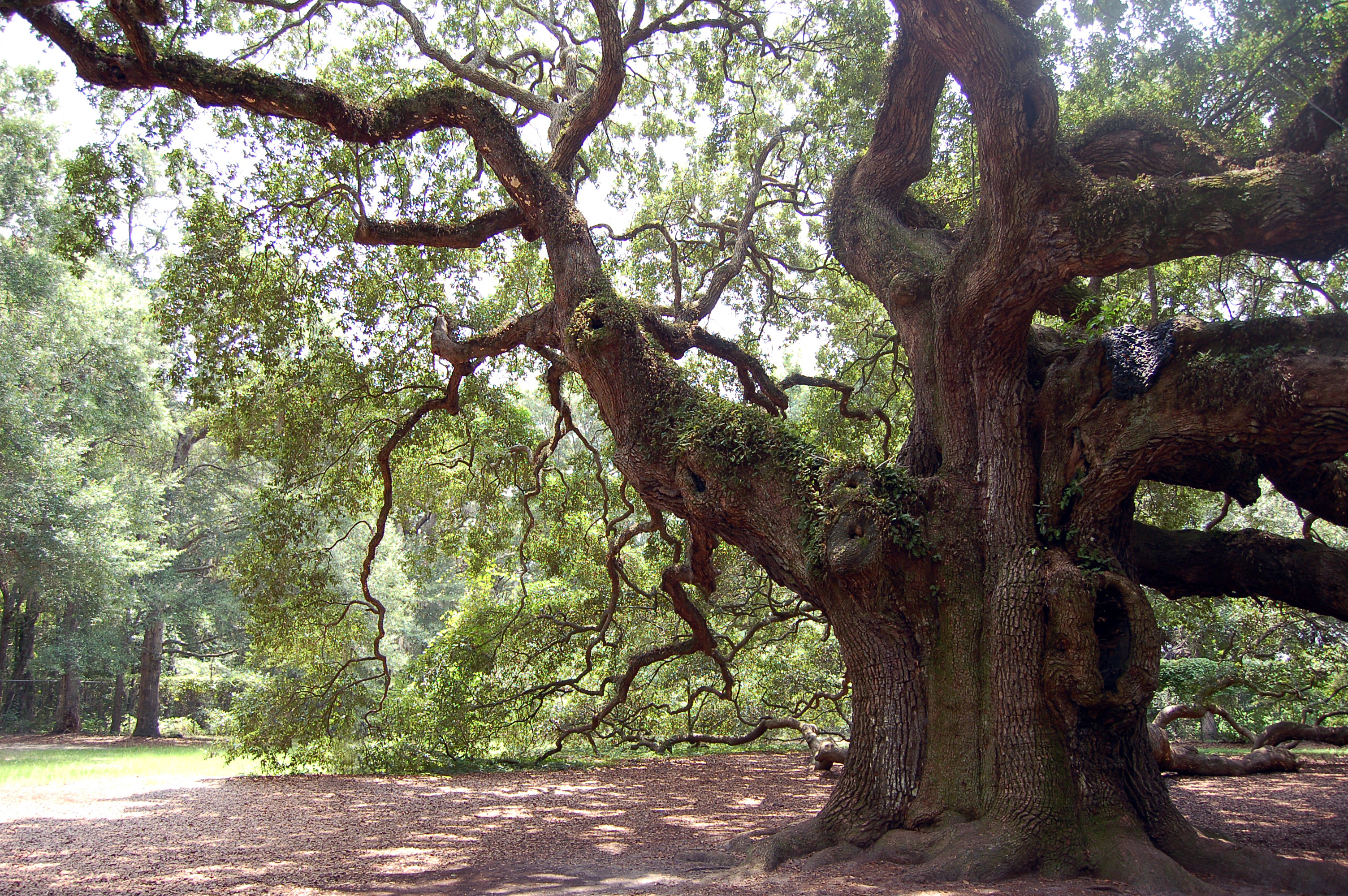 File:Angel Oak Johns Island SC horz jpg - Wikimedia Commons