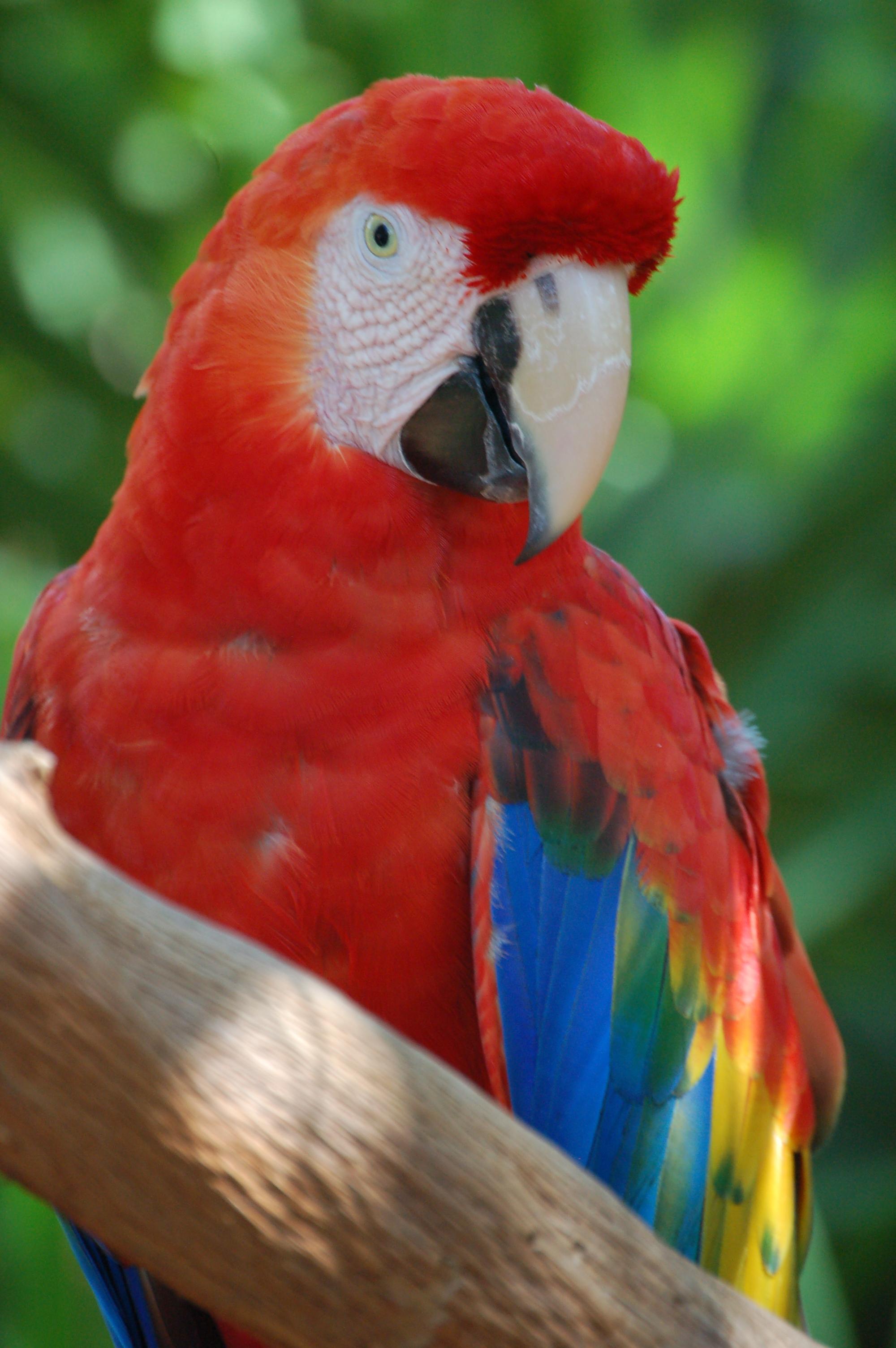 arara vermelha Ara macao