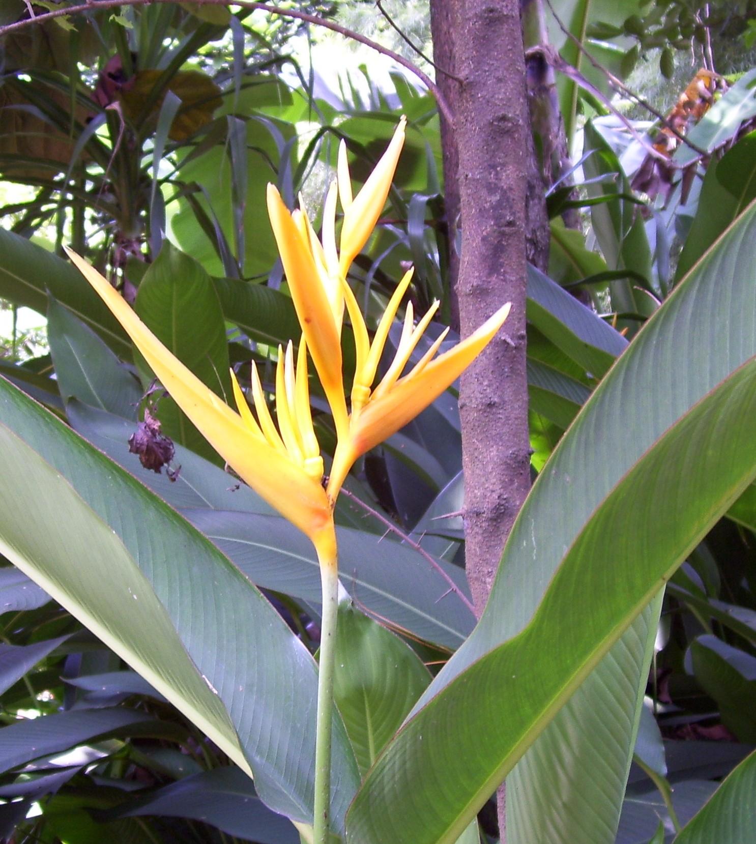 File Banana flower yellow Wikimedia mons