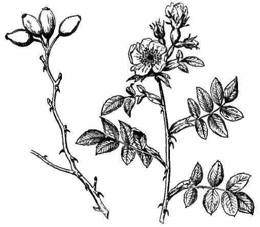 Rose Bushes Drawing Britannica Rose.jpg