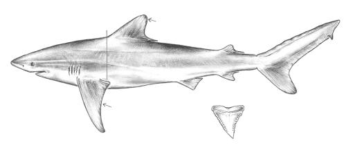 File:Carcharhinus obscurus drawing.jpg