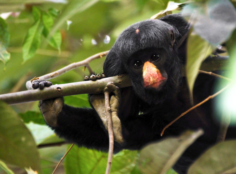 Bearded Monkey Name: White-nosed Saki