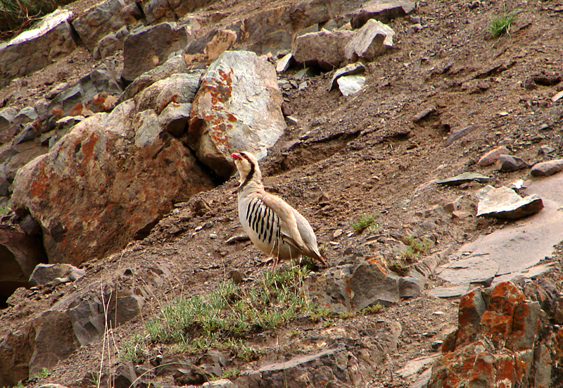 File:Chukar Partridge.jpg