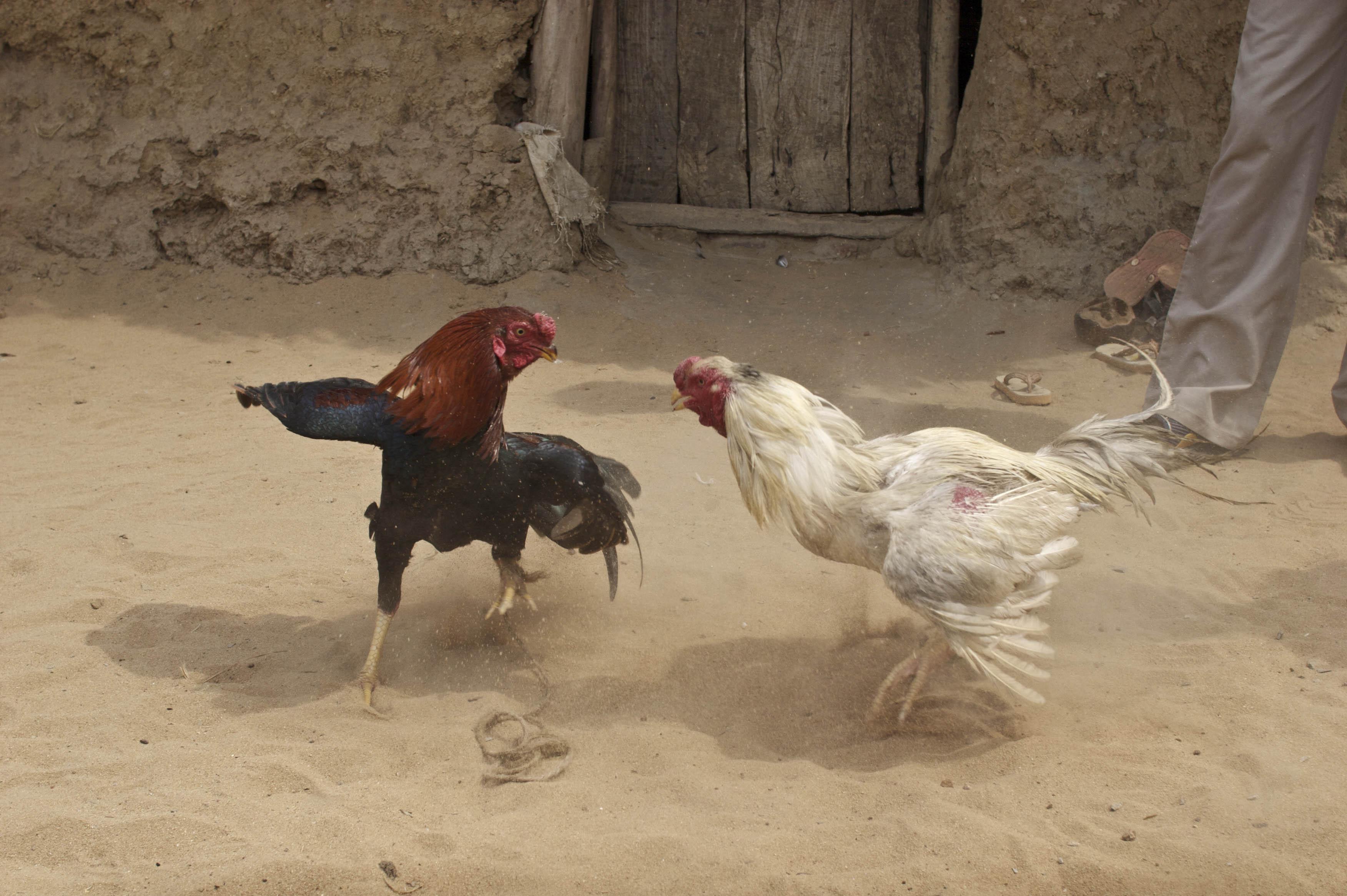 Cock fight pic foto