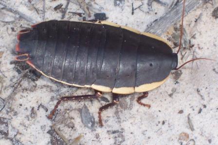 Ficheiro:Cockroach 8 cm long Ku-ring-gai Chase National Park.jpg