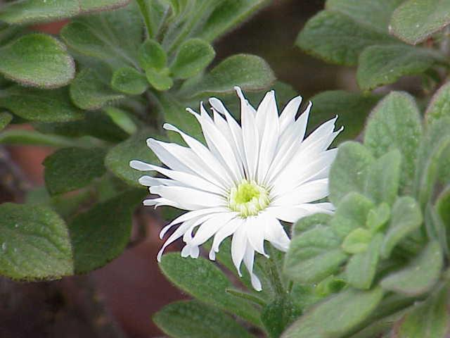 Commidendron rugosum gumwood flower