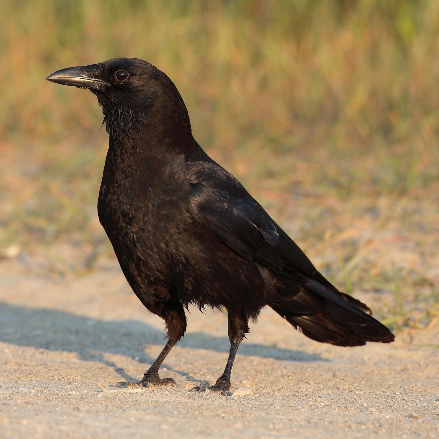 Resultado de imagem para corvo americano