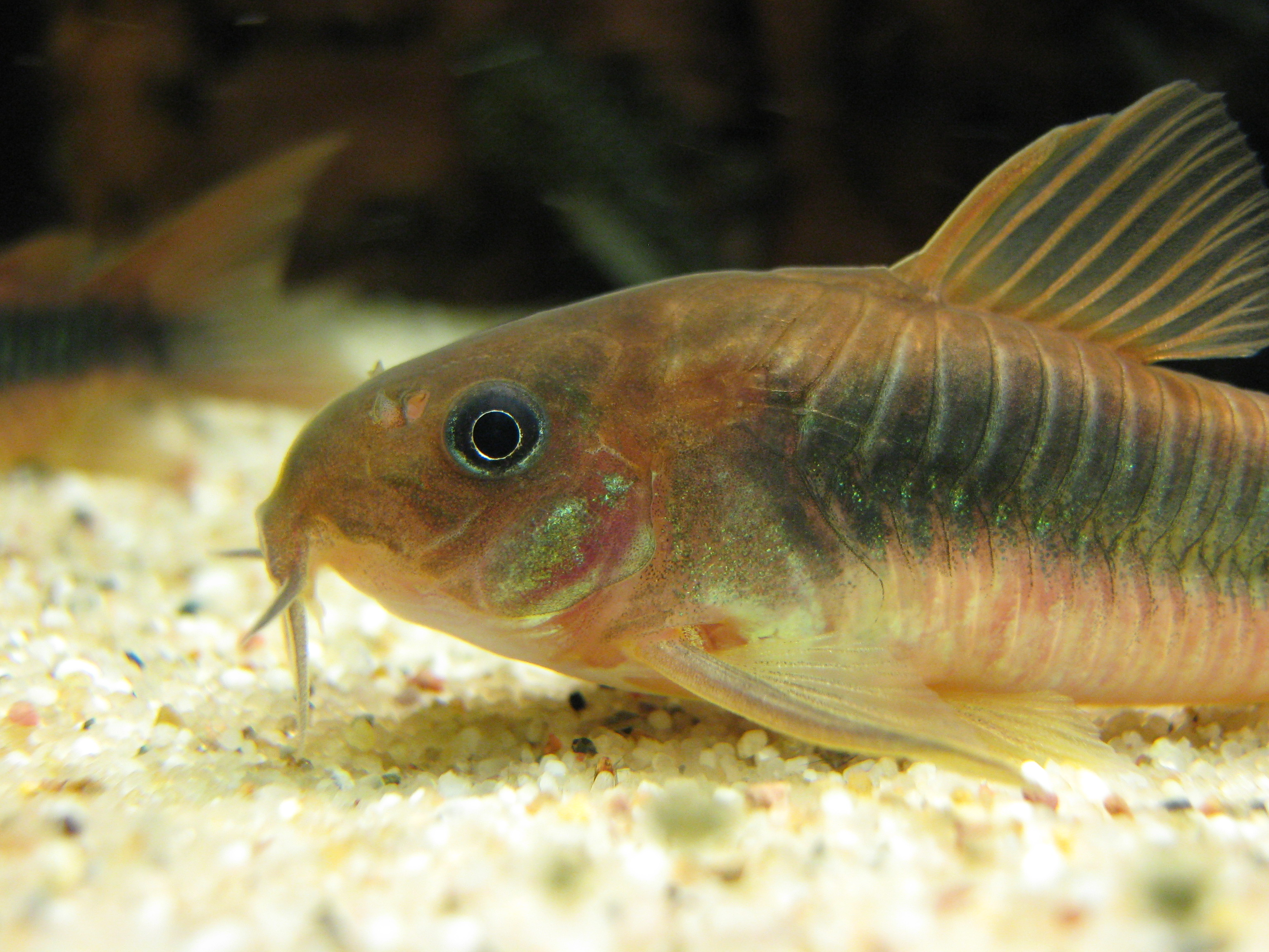 File corydoras aeneus head jpg for Cory cat fish