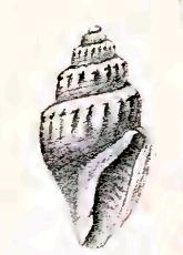 <i>Curtitoma incisula</i> species of mollusc