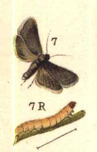 <i>Grapholita</i> Genus of tortrix moths