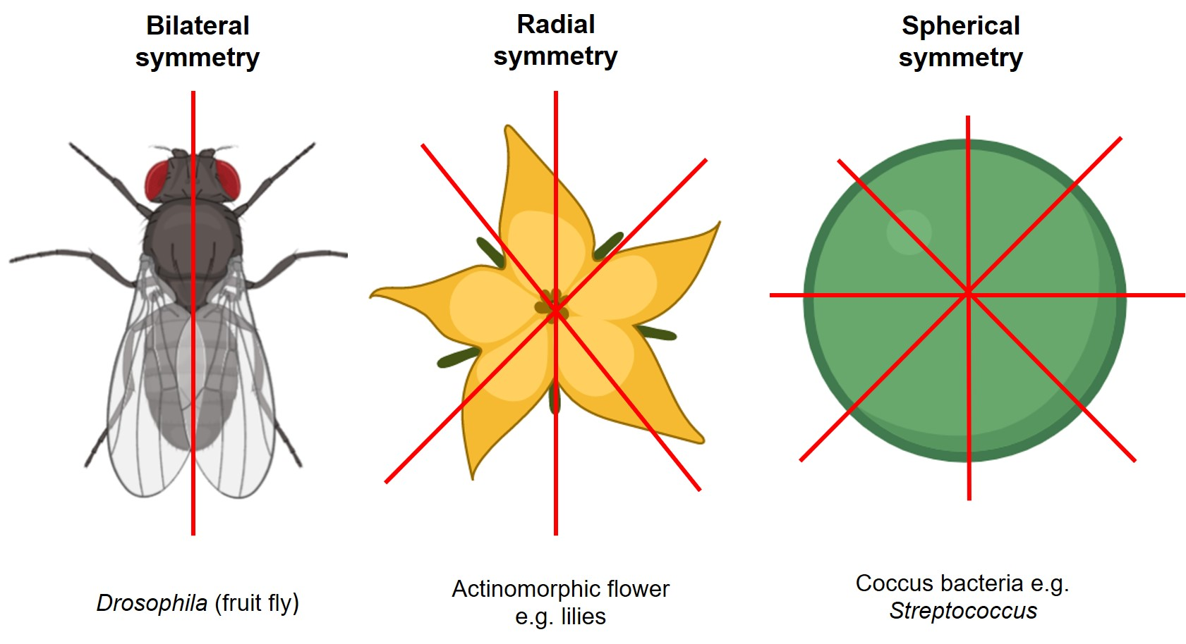 Diagram comparing bilateral, radial, and spherical symmetry
