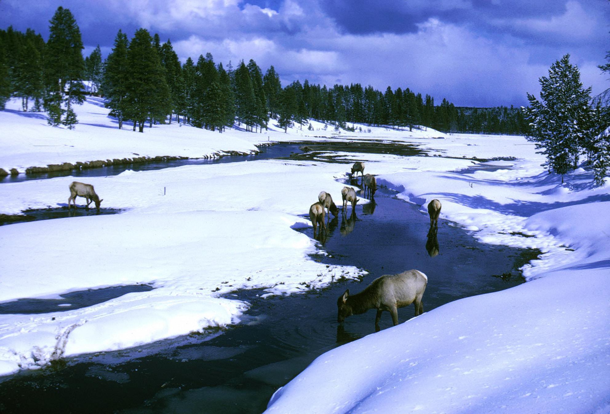 File Elk Wapiti In Gibbon River During Winter At