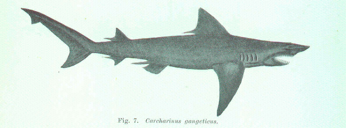 FMIB 45519 Carcharinus gangeticus.jpeg
