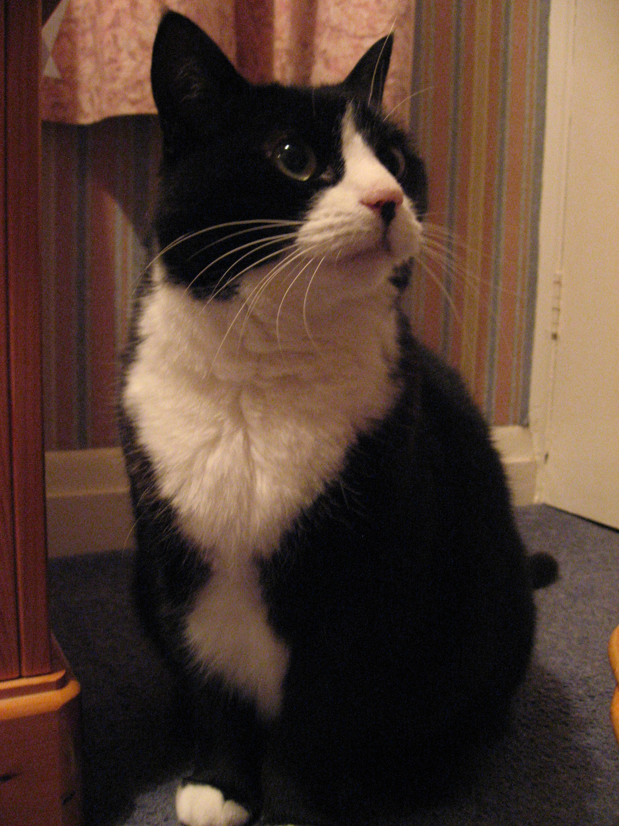 Good Names For Tuxedo Cats