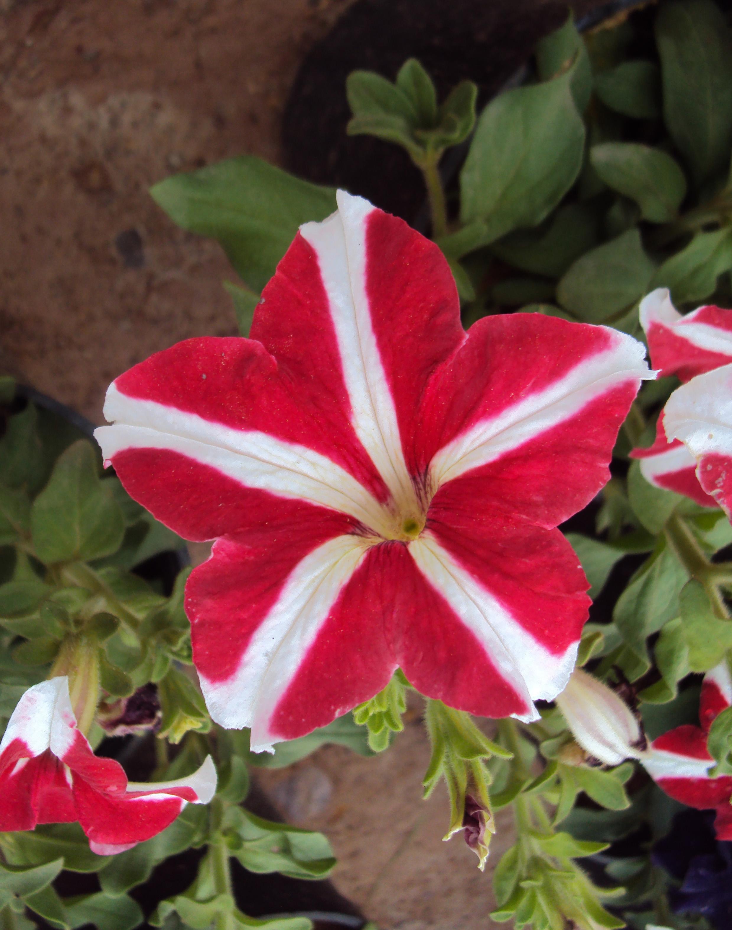 FileFlowers Uncategorised Garden plants 110JPG Wikimedia Commons