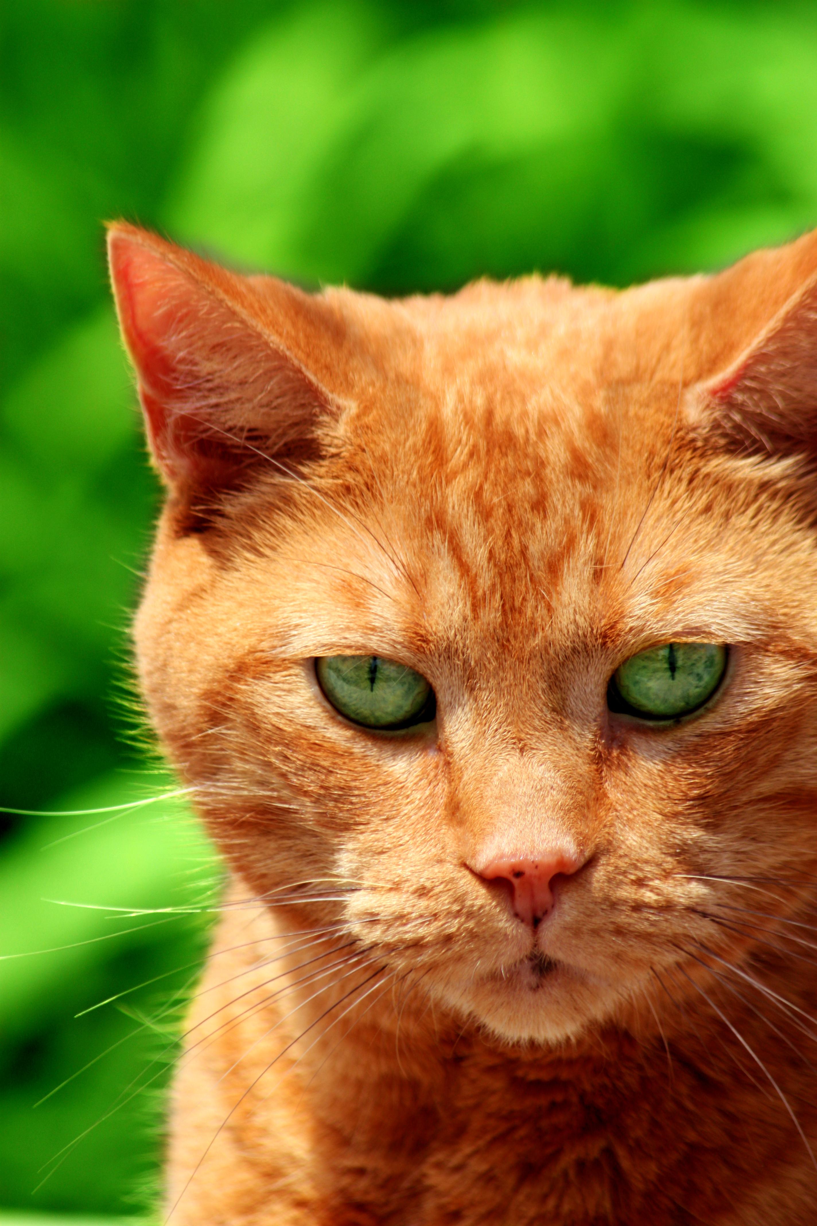 Orange Tabby Pelt Colour Warrior Cats Ut