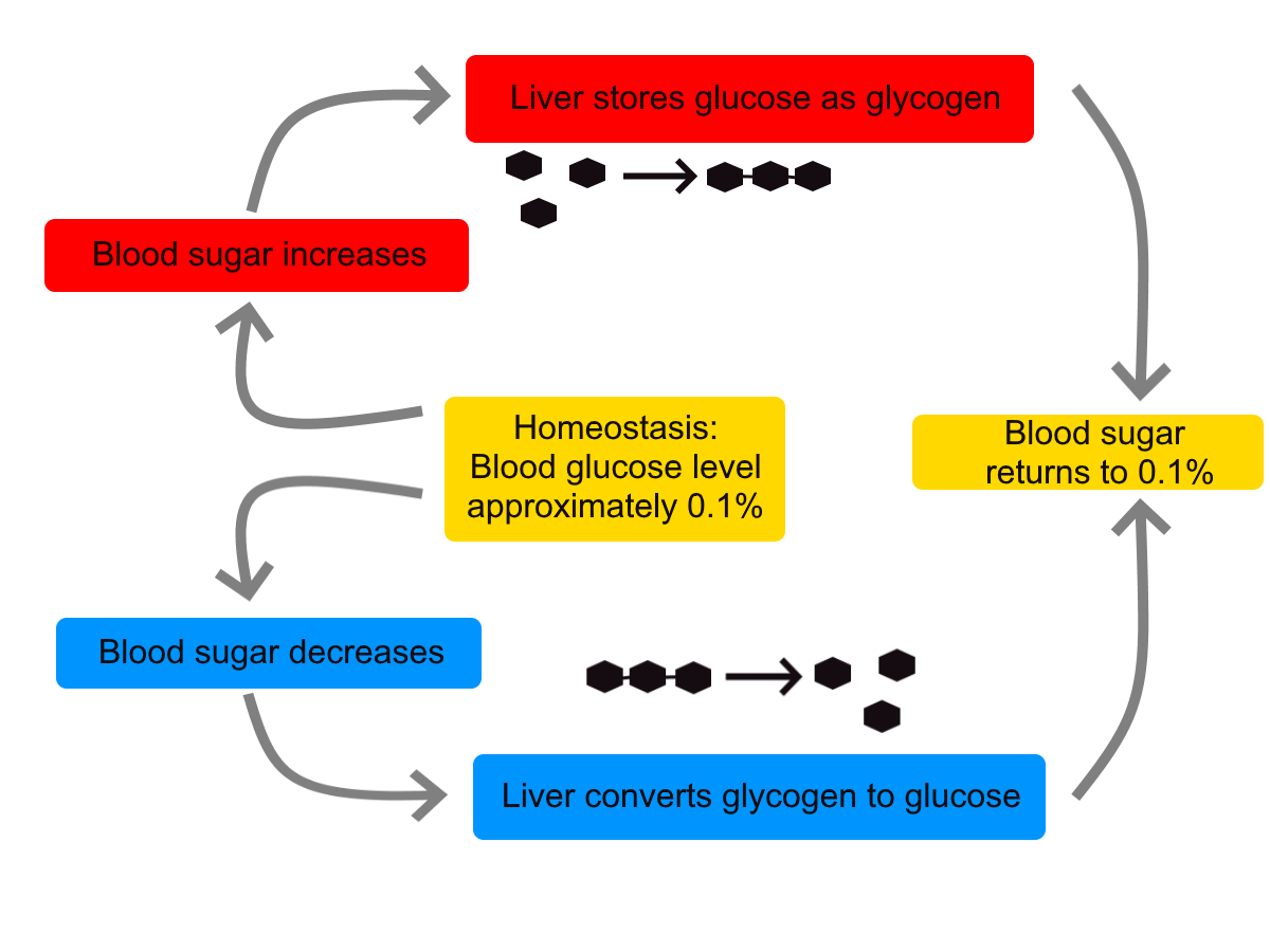 file:homeostasis of blood sugar png