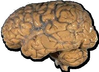 Gehirn Wikipedia