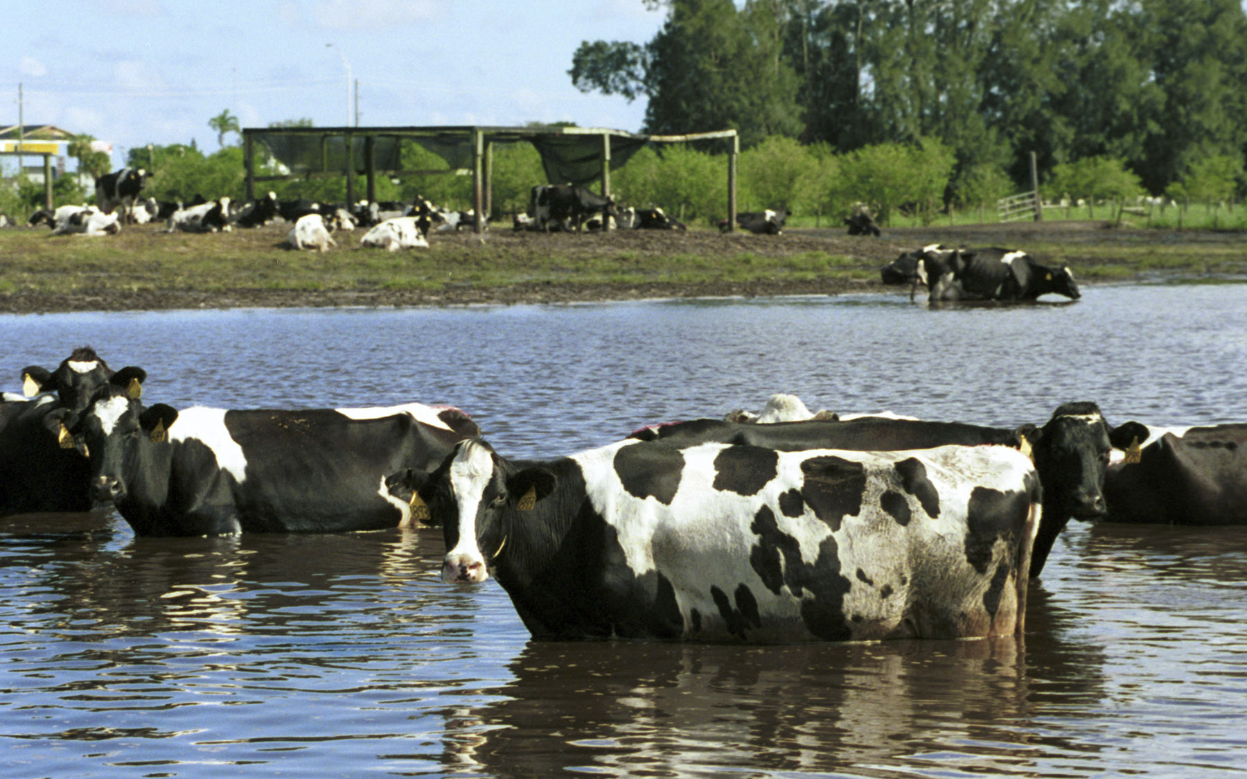 Image result for cattle in nederland flooding