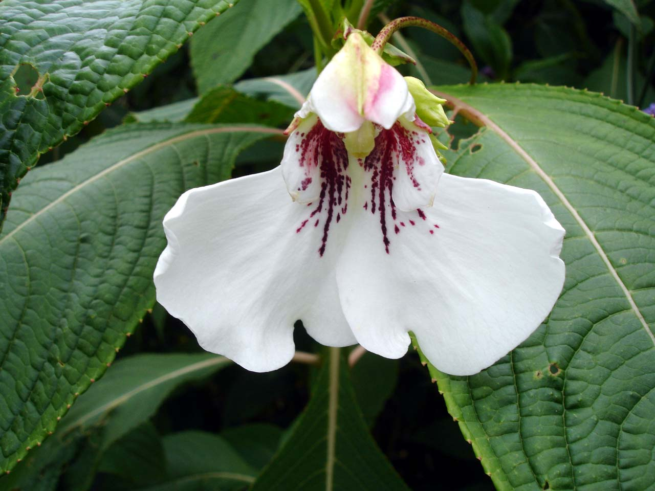http://upload.wikimedia.org/wikipedia/commons/0/0a/Impatiens_tinctoria1b.UME.jpg