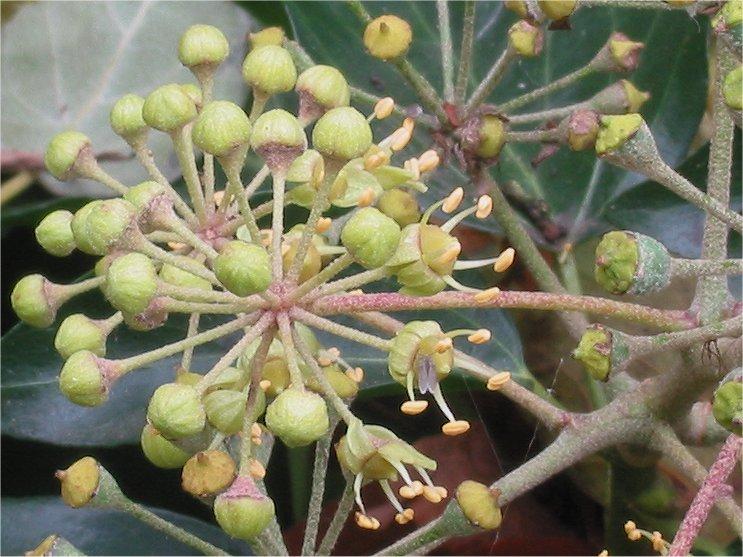 Bestand:Klimop bloeiend (Hedera helix).jpg