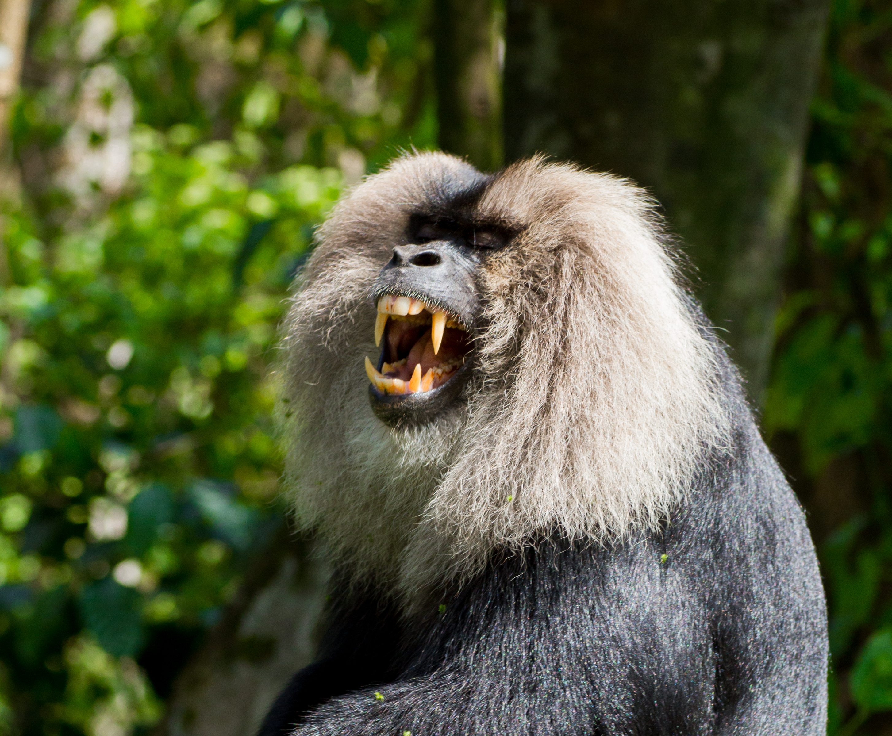 file lion-tailed macaque 3 by n a nazeer jpg