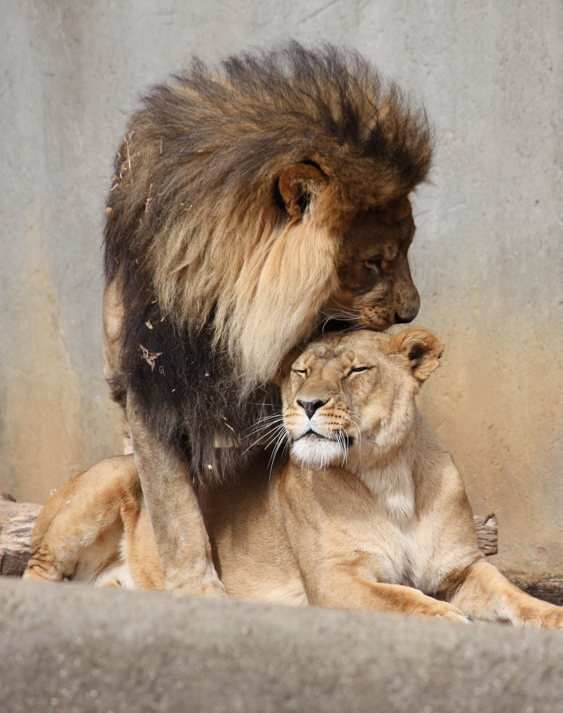 Image result for lion mating