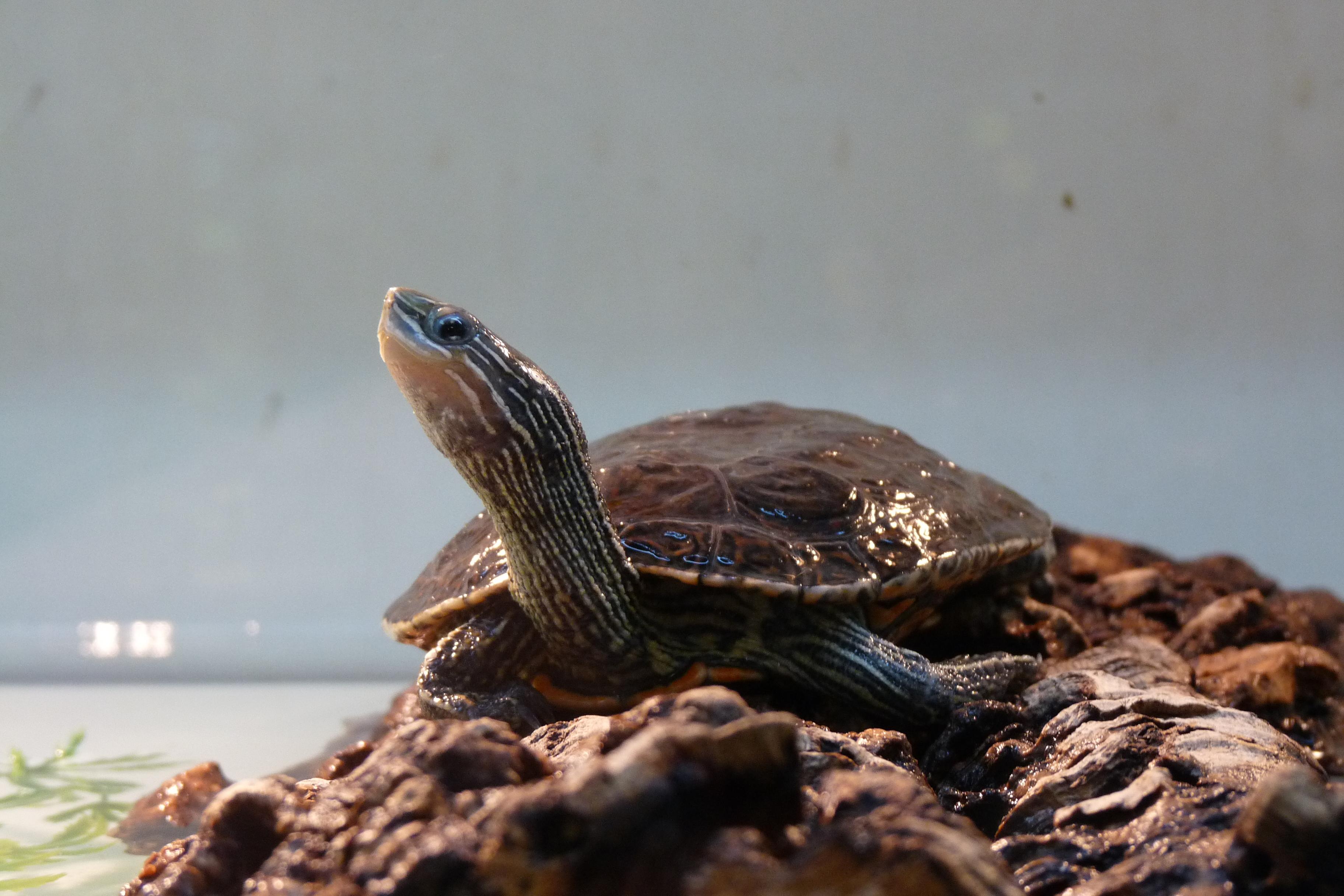 Balkan pond turtle Wikiwand