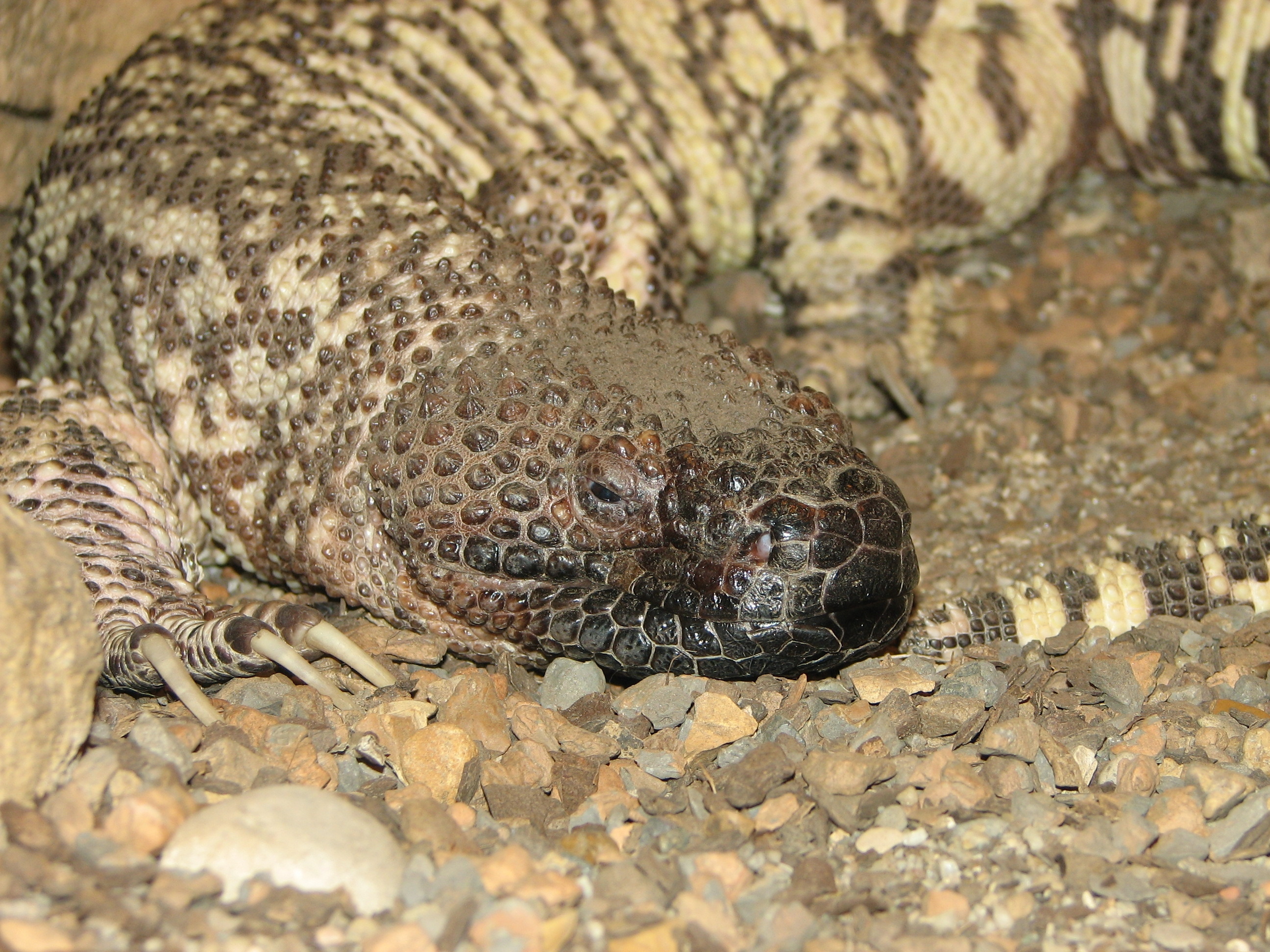 Todays Blog Will Be On The Mexican Beaded Lizard This Like Gila Monster Is Poisonous And One Of 2 Lizards In World