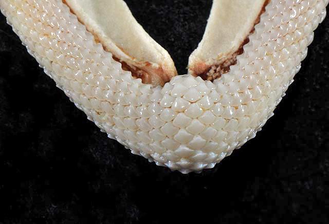 Mustelus_norrisi_lower_teeth.jpg