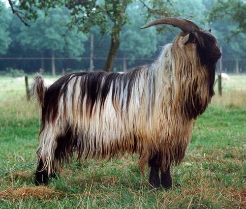 Dutch Landrace goat - Wikipedia
