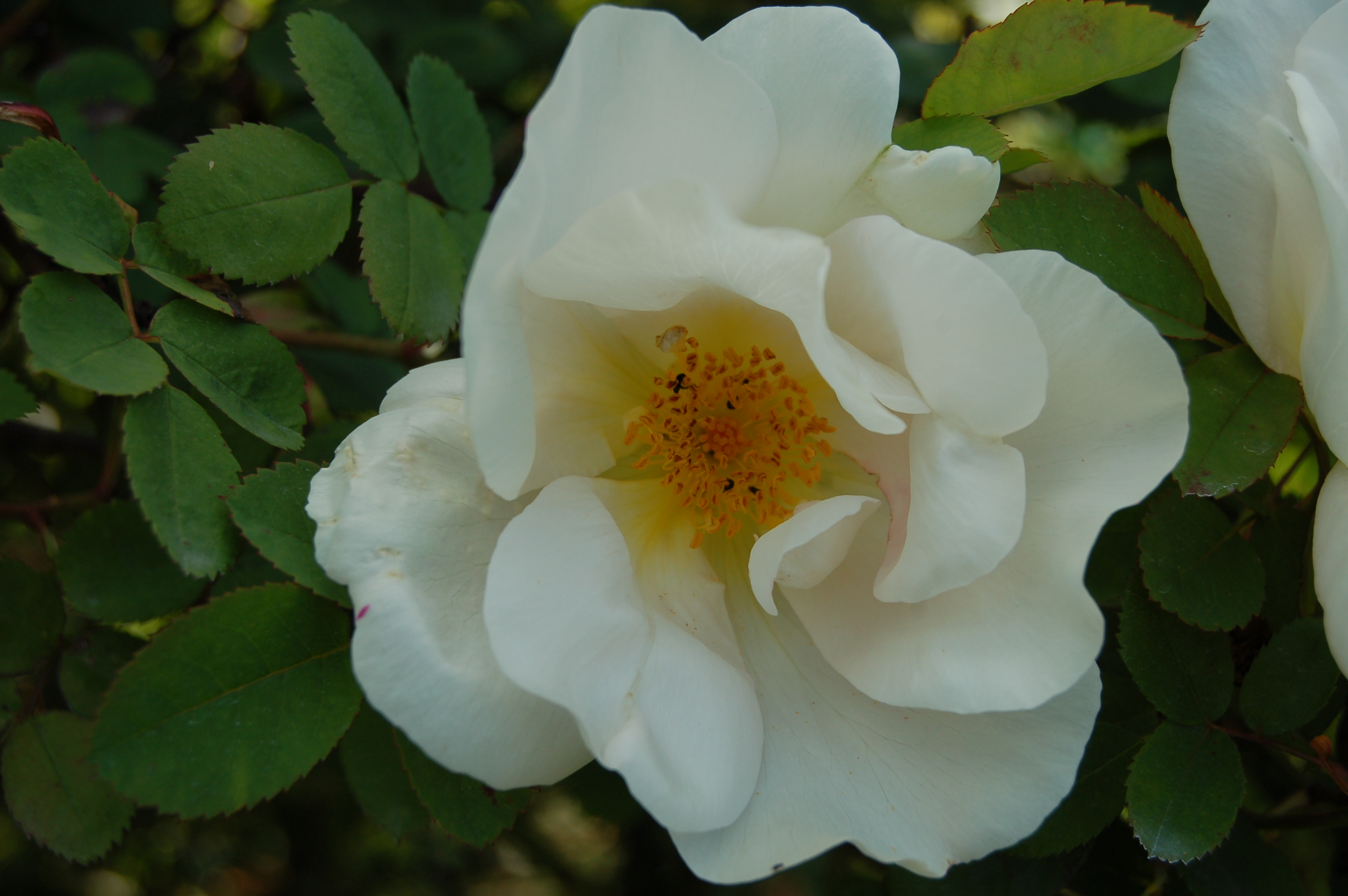 Nevada Rose