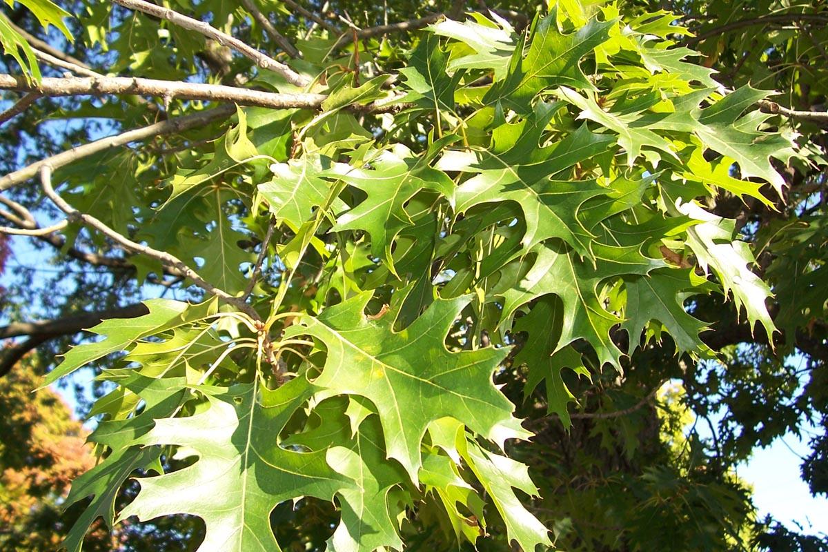 Quercus ellipsoidalis - Wikipedia