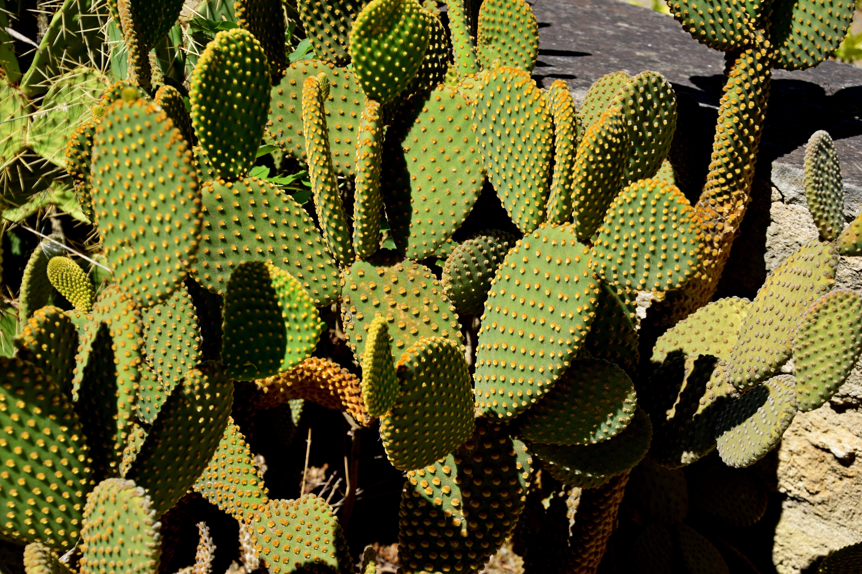 File Opuntia microdasys in Jardin des plantes de Montpellier 02