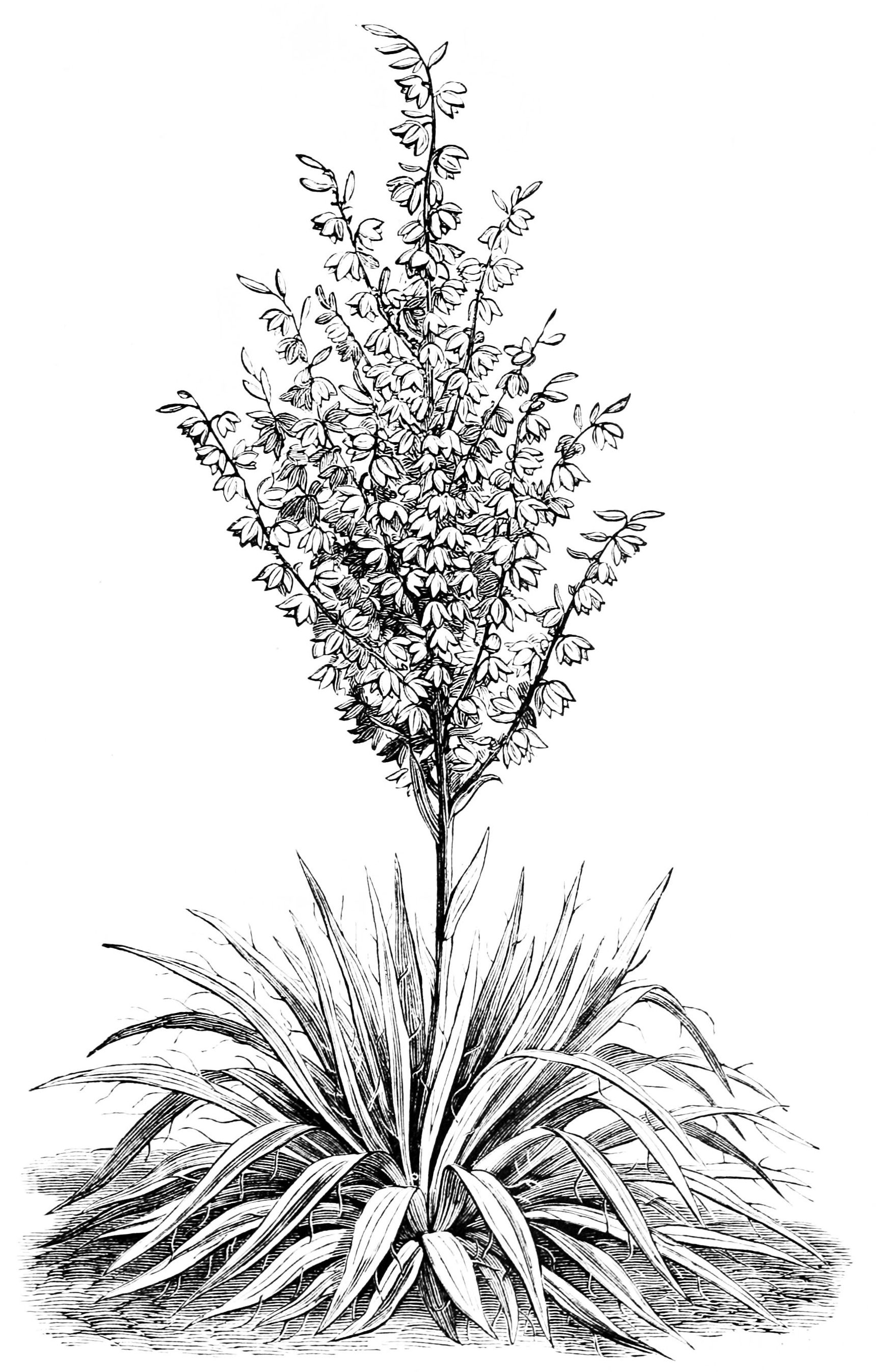 File PSM V05 D147 Yucca plant Wikimedia mons