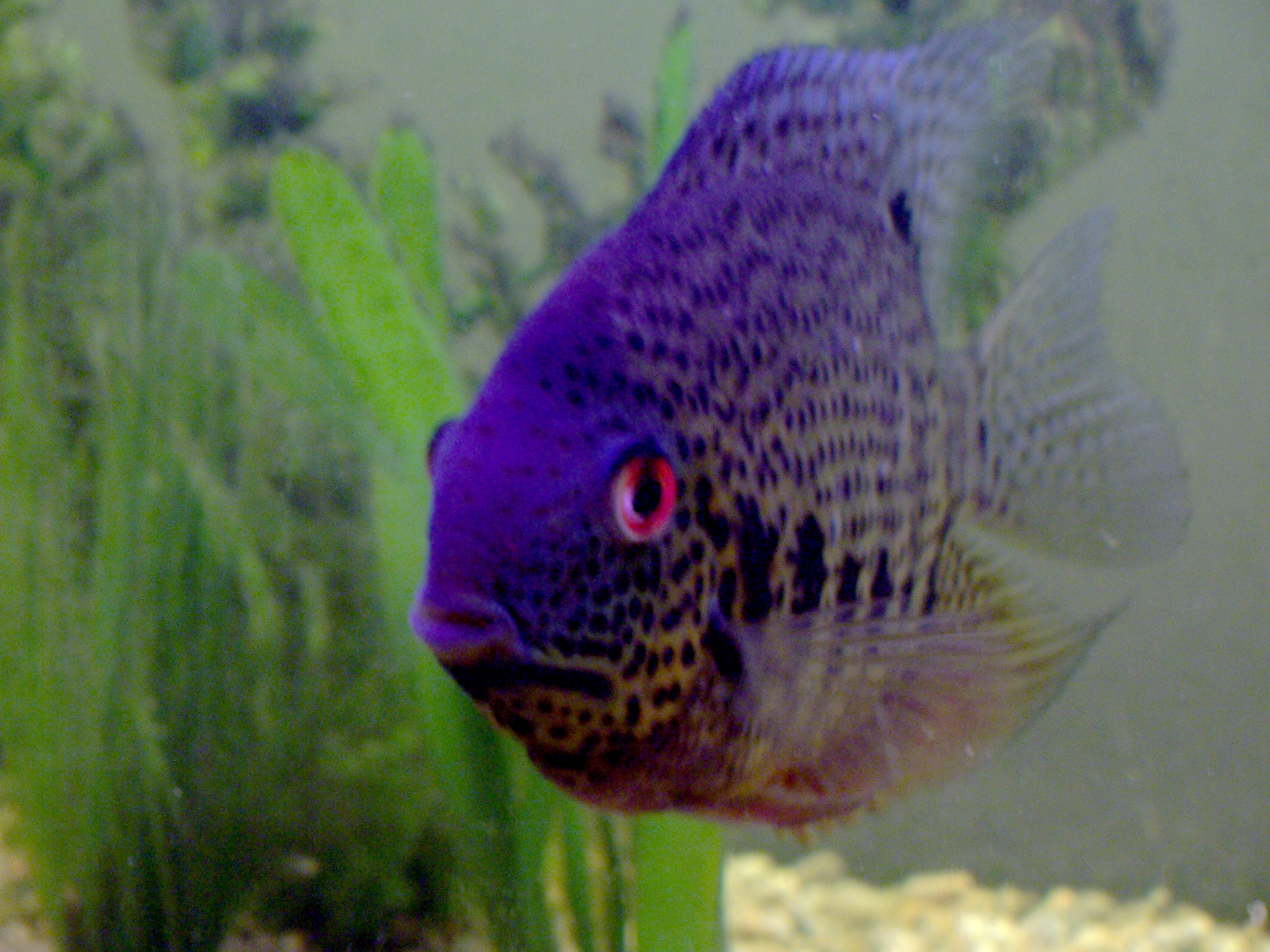 Freshwater aquarium fish with red eyes - File Purple Fish With Red Eyes In Aquarium Jpg