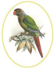 Pyrrhura molinae 1888