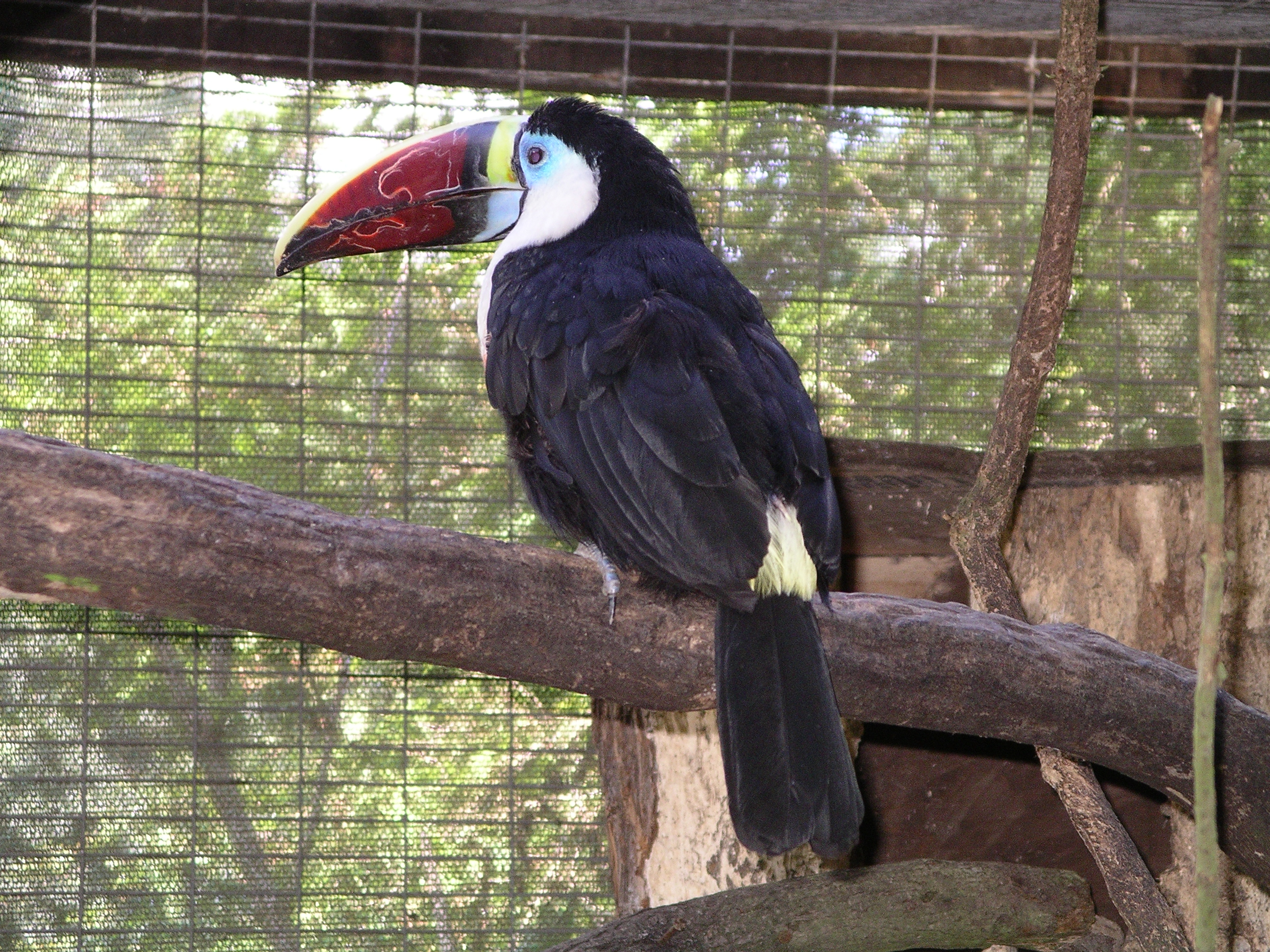File:red Billed Toucan 31l07