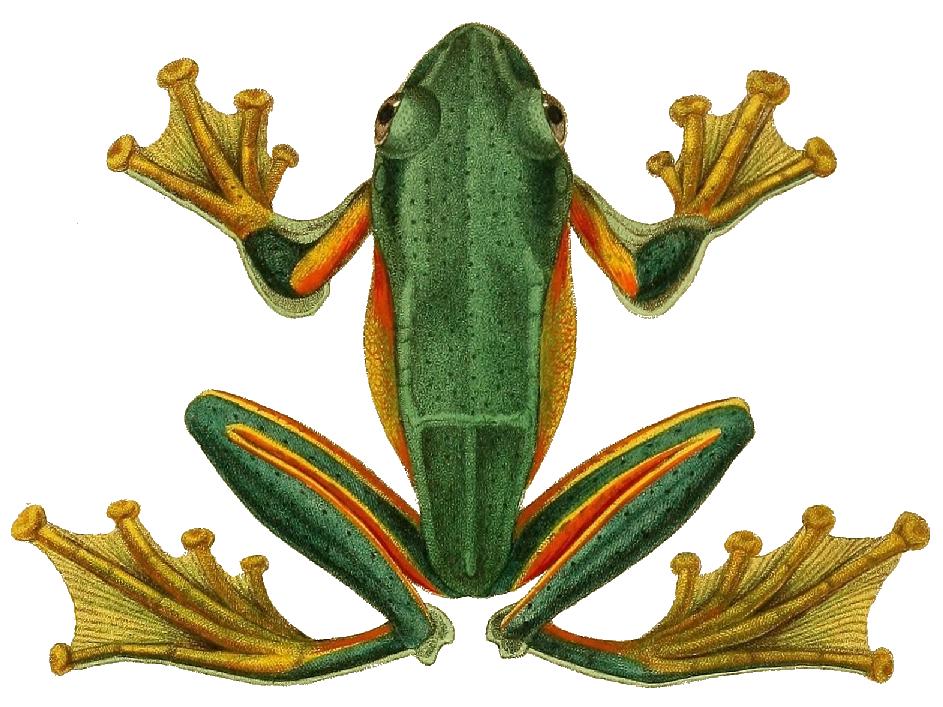 Картинки лап лягушки