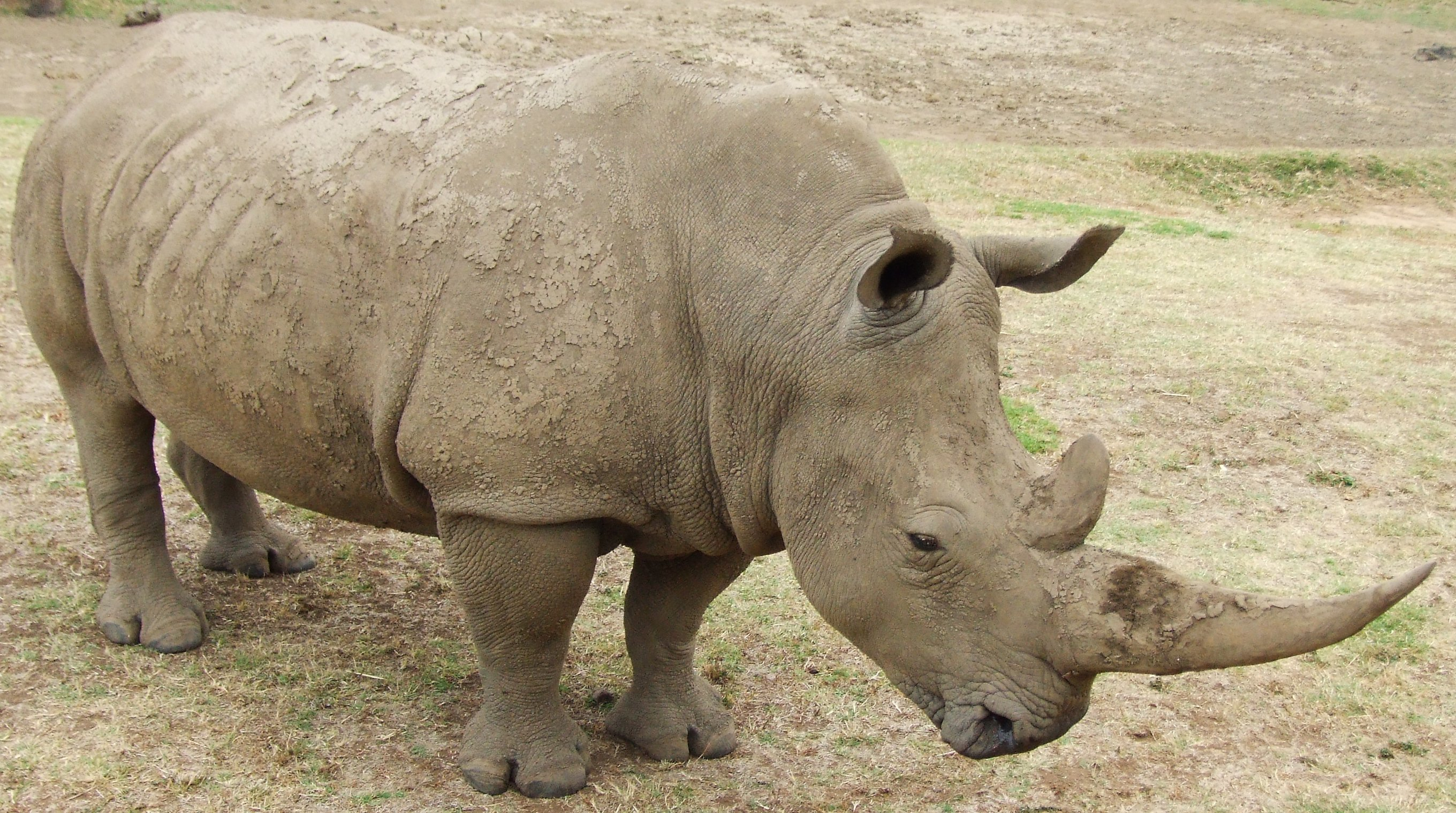 file rhino 3 jpg wikimedia commons