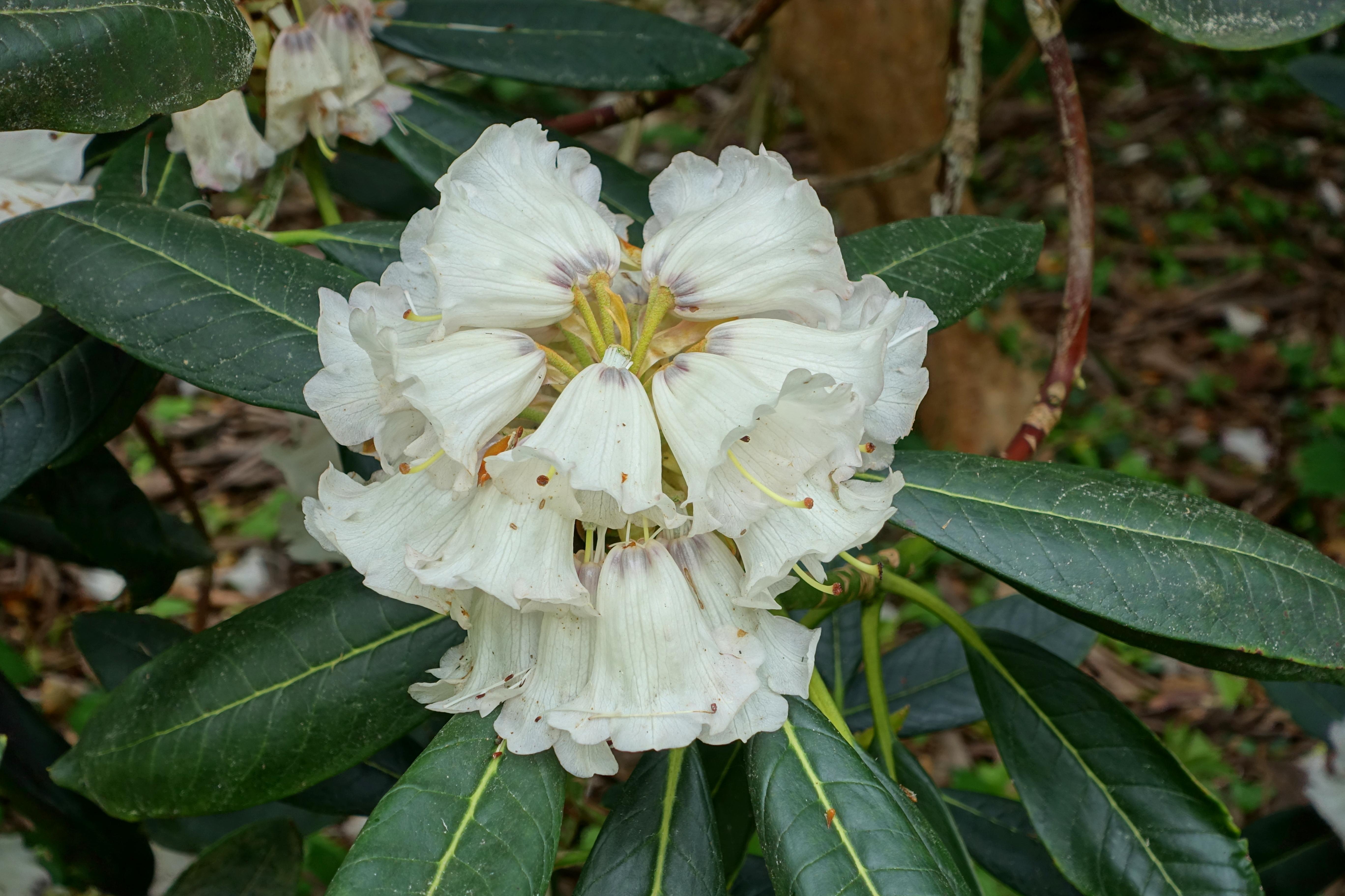 Rhododendron Rex Wikipedia