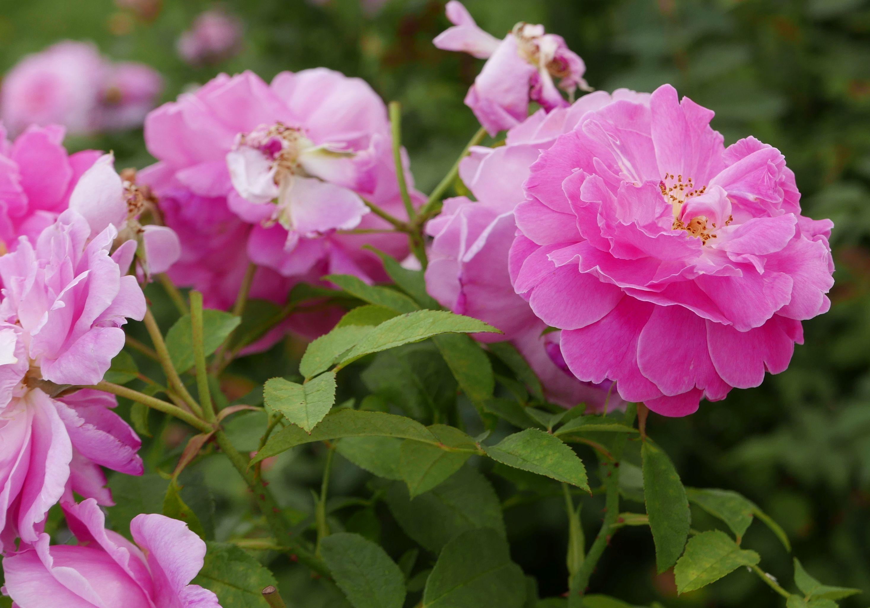 rosa mary rose wikimedia commons