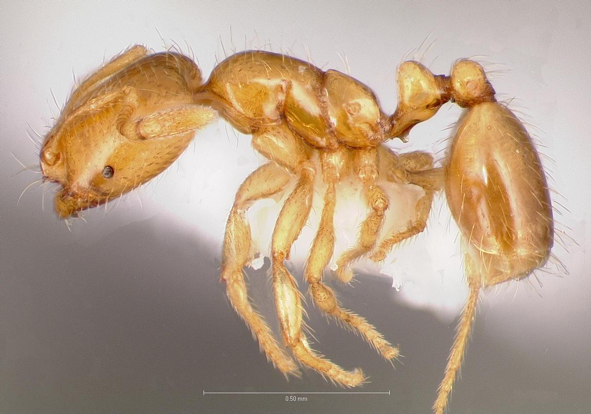 Little Black Ants In Kitchen Solenopsis Molesta Wikipedia