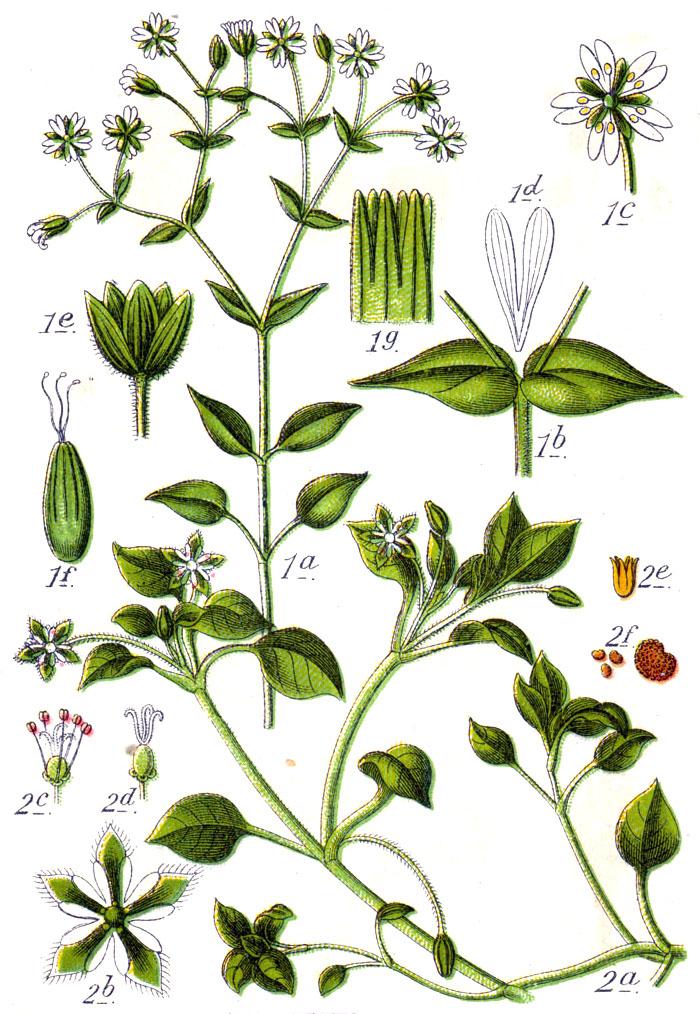 Stellaria spp Sturm5.jpg