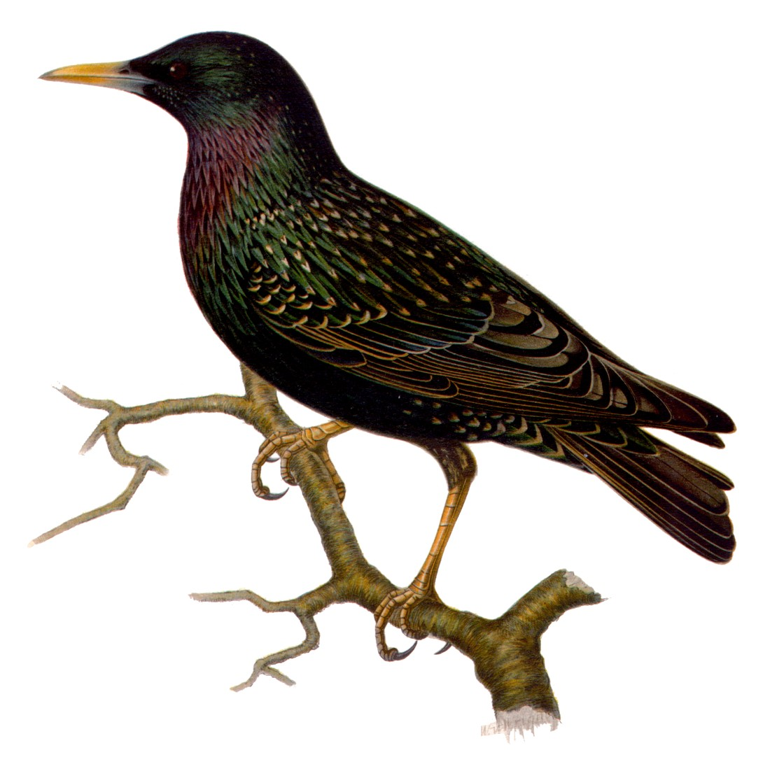 European Starling, Sturnus vulgaris, licensed under Public Domain via Wikimedia Commons