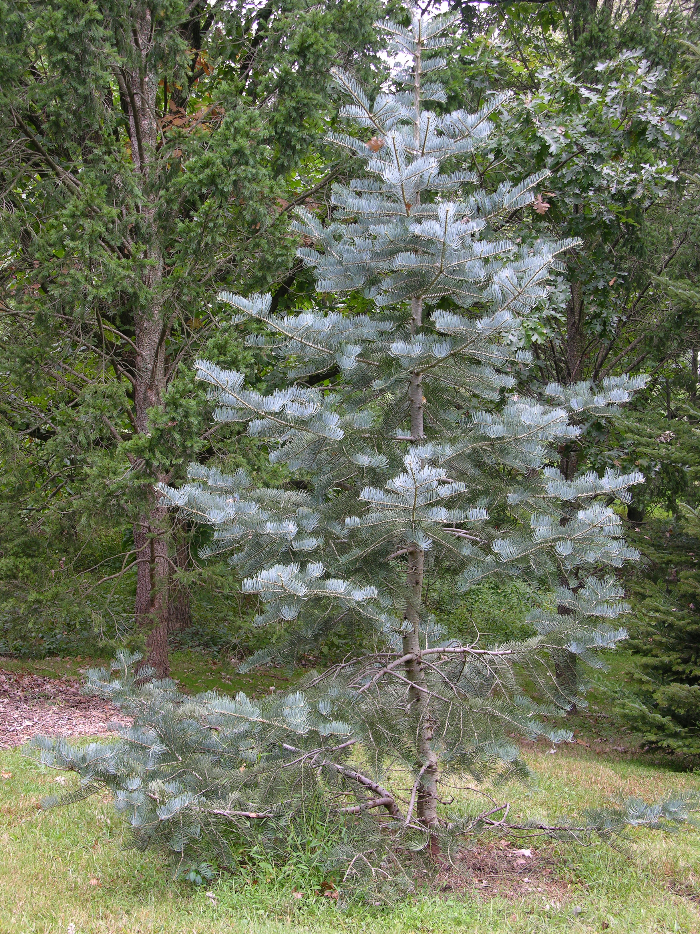 FileWhite Fir Abies Concolor Tree 2448px
